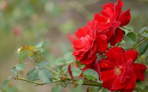 Картинка листья, макро, розы, ветка, лепестки, боке, красные розы