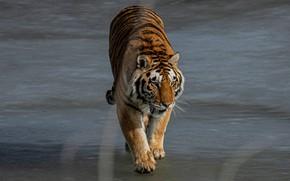 Картинка тигр, поза, берег, прогулка, водоем