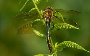 Картинка листья, макро, природа, зеленый, фон, стрекоза, насекомое, крылышки, папоротник