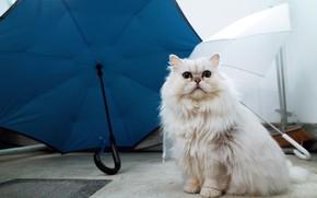 Картинка кошка, белый, кот, синий, голубой, зонт, зонты, белая, персидская