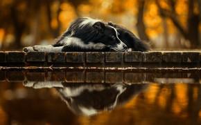 Картинка отражение, друг, собака