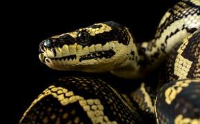 Картинка портрет, змея, питон