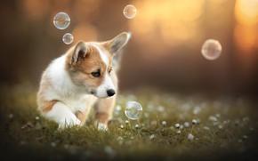Картинка собака, природа, друг, корги, лето