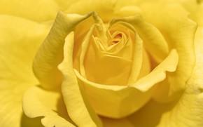 Картинка цветок, природа, Yellow Rose