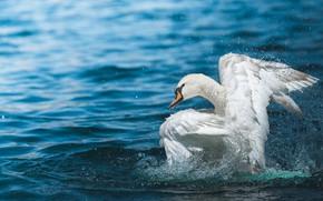 Картинка белый, вода, капли, брызги, фон, голубой, птица, крылья, лебедь, водоем, взмах, плещется