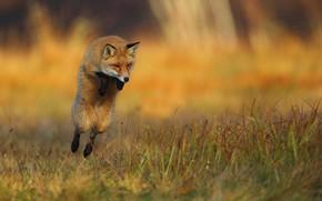 Картинка трава, природа, животное, прыжок, лиса, лисица
