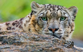 Картинка глаза, взгляд, морда, кошки, крупный план, камень, портрет, зеленые, снежный барс, барс, дикие кошки, зоопарк, …