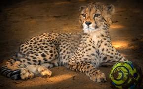 Обои взгляд, морда, поза, фон, мяч, малыш, гепард, лежит, детеныш, дикая кошка