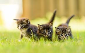 Картинка лето, трава, взгляд, природа, поза, забор, размытие, маленькие, котята, три, прогулка, малыши, компания, серые, трио, …