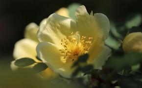 Картинка листья, свет, цветы, темный фон, роза, куст, розы, желтые, сад, шиповник, цветение, желтая