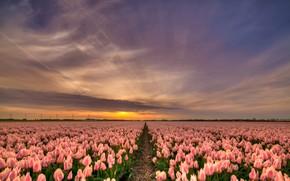 Картинка поле, небо, солнце, облака, лучи, свет, закат, цветы, природа, красота, вечер, горизонт, тюльпаны, нежные, розовые, …