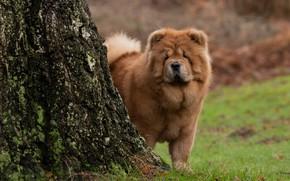 Картинка дерево, собака, Чау-чау