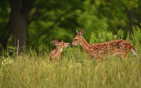 Картинка зелень, лес, лето, трава, природа, малыш, пара, олени, олененок, парочка, дуэт, мама, два, оленёнок, олениха, …
