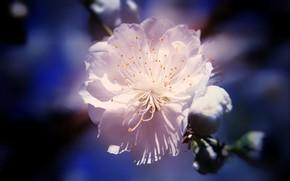 Картинка тычинки, размытый задний фон, цветение сакуры