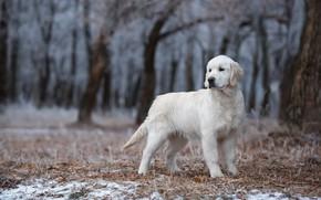 Картинка зима, иней, лес, белый, взгляд, листья, снег, деревья, ветки, поза, стволы, собака, милый, щенок, стоит, …