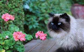 Картинка кошка, кот, взгляд, морда, цветы, природа, доски, сад, сиамская, колор-пойнт, рэгдолл