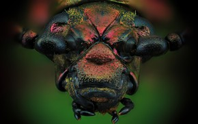Картинка макро, жук, Sagra Oberthuri