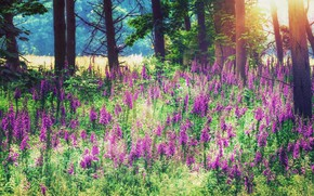 Картинка лес, лето, свет, деревья, цветы, стволы, поляна, розовые, цветение, много, наперстянка