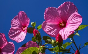 Картинка небо, лепестки, гибискус, цветі