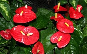 Картинка капли, красные, Антуриум, цветок фламинго