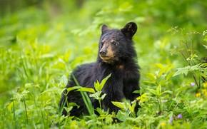 Картинка зелень, морда, листья, портрет, малыш, медведь, мишка, медвежонок, барибал