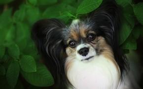 Картинка взгляд, морда, листья, крупный план, листва, куст, портрет, собака, щенок, собачка, милашка, зеленый фон, папийон, …