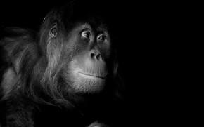Картинка природа, портрет, обезьяна