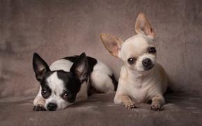 Картинка фон, портрет, парочка, собачки, две собаки, Чихуахуа, пёсики
