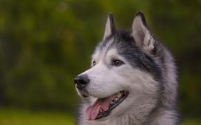Картинка язык, морда, фон, собака, боке, Хаски