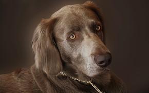 Картинка взгляд, морда, охотничья собака, Веймаранер