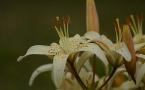 Картинка лето, макро, лилия, лепестки