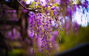 Картинка цветы, красота, размытие, весна, цветение, сиреневые, боке, глициния, вистерия