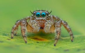 Картинка глаза, макро, фон, листок, лапки, паук, прыгун, джампер, паучок, прыгающий паук, членистоногое