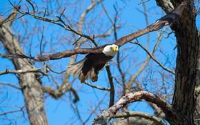 Картинка небо, полет, ветки, синева, дерево, птица, орел, крылья, орёл, синий фон, взмах, белоголовый орлан, размах