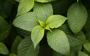 Картинка листья, капли, макро, растение