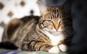 Картинка кошка, кот, взгляд, морда, свет, котенок, портрет, тень, лежит, котёнок