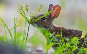 Картинка трава, кролик, ушки, боке