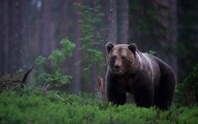 Картинка зелень, лес, взгляд, морда, деревья, природа, растительность, медведь, мишка, сосны, прогулка, бурый