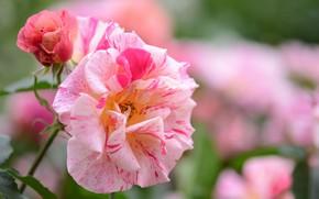 Картинка цветок, роза, рябая