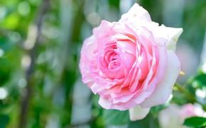 Картинка цветок, свет, фон, розовая, роза, бутон, боке, пышная