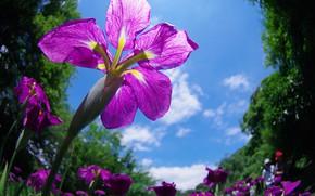 Картинка небо, весна, ирис