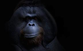 Картинка фон, обезьяна, orangutang