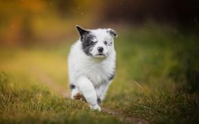 Картинка собака, щенок, прогулка, боке, пёсик, Бордер-колли