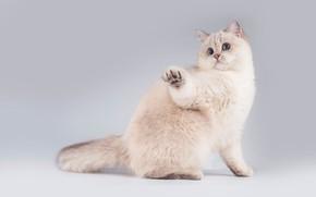Картинка кошка, белый, кот, взгляд, поза, котенок, мордочка, милый, котёнок, сидит, светлый фон, лапочка, британский, британец, …