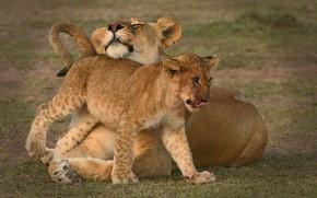 Картинка львы, львица, львёнок