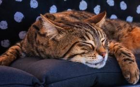 Картинка кошка, кот, морда, темный фон, фон, отдых, сон, подушки, лапы, спит, лежит, полосатый, в горошек, …