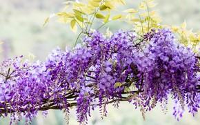 Картинка цветы, ветки, природа, фон, цвет, красота, светлый, весна, кисти, цветение, каскад, сиреневая, много, красивые, гроздья, …