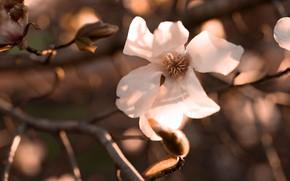 Картинка цветы, ветки, весна, цветение, боке, магнолия