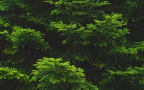 Картинка иголки, ветки, ель, зелёная