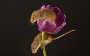 Картинка пыльца, тюльпан, мышки, кроха